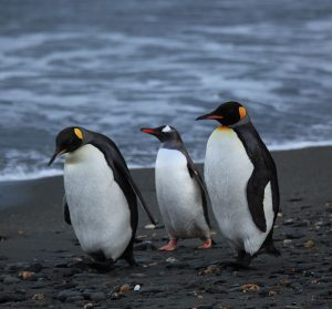 800px-penguins_walking_-moltke_harbour_south_georgia_british_overseas_territory_uk-8
