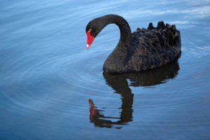 black-swan-700w-2